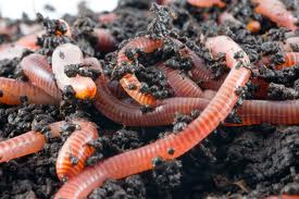 Worm Pic